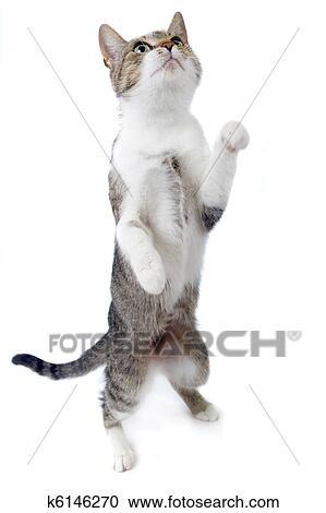 Banco de Fotografías - gato, el estar parado en las piernas traseras ...