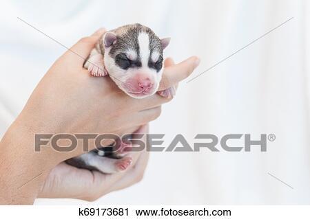 Husky Newborn Puppies 1 Day Stock Image