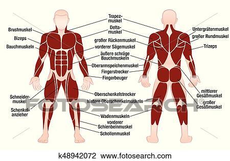 Clipart - músculos, alemán, nombres, gráfico, muscular, cuerpo ...