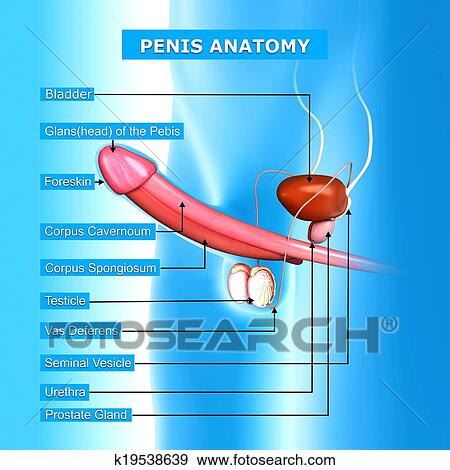 Male urinary system with names Stock Illustration