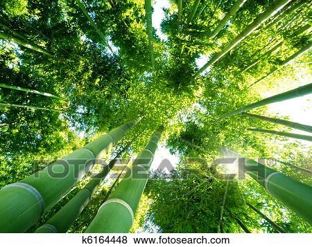 Bilder Bambuswald K6164448 Suche Stockfotos Bilder Print Fotos