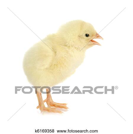 pictures of chirping chick k6169358 search stock photos images
