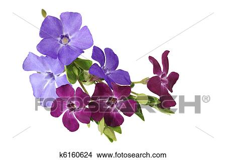 stock photo of myrtle vinca flowers k6160624 search stock images