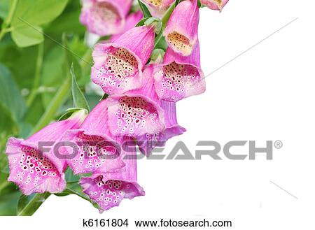 Stock Photo Of Pink Foxgloves K6161804 Search Stock Images Mural