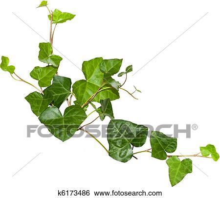 Colecci n de im genes hiedra k6173486 buscar fotos e for Ver fotos de arboles de hoja perenne