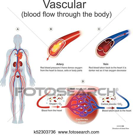 Clip Art of Vascular blood flow through the body. k52303736 - Search ...
