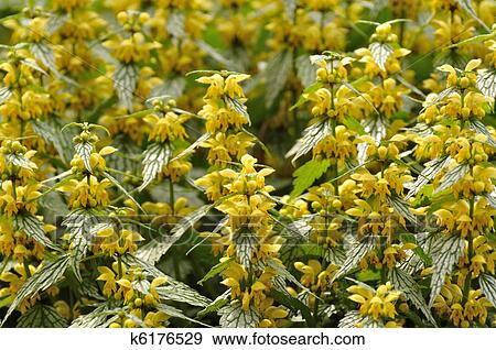 Stock Photograph Of Yellow Flowers On Variegated Yellow Archangel