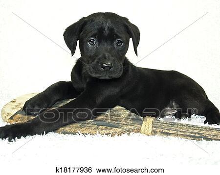 Black Lab Puppy Stock Photograph