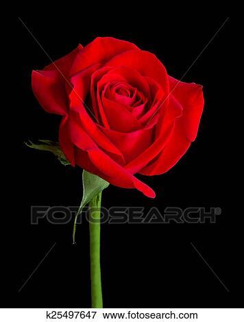 Foto Rosa Roja Solitario K25497647 Buscar Fotos E Imágenes Y