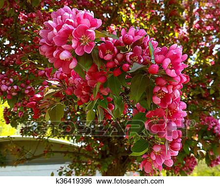 Stock images of malus purpurea eleyi ornamental apple tree purple beautiful red pink and purple flowers of crab apple tree with the botanical name of malus purpurea eleyi mightylinksfo