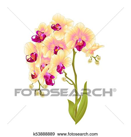 Branches Orchid Phalaenopsis Yellow Flowers Stem Vector Eps Clip