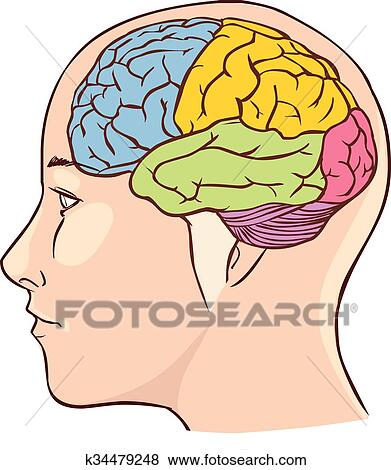 Clip Art - cerebro, anatomía, diagrama, con, sectioned, en ...
