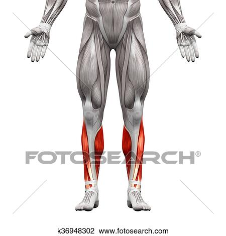 Clip Art of Calf Muscles - Anatomy Muscles isolated on white - 3D ...