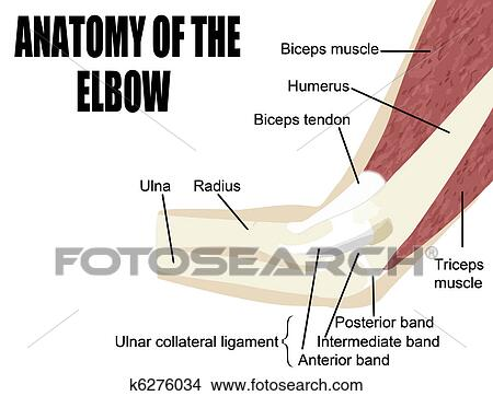 Clipart Of Anatomy Of The Elbow K6276034 Search Clip Art