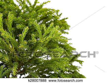 Cryptomeria Japonica Globosa Nana Dwarf Globe Japanese Cedar