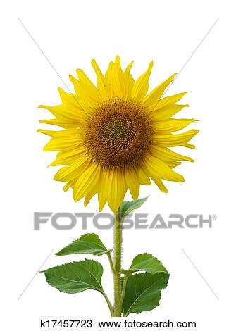 Girassol Florescer Isole Desenho K17457723 Fotosearch