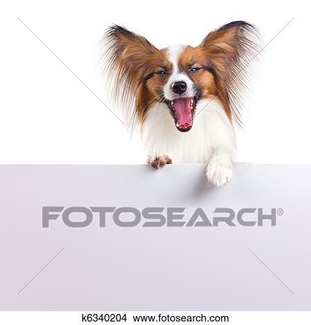 Papillon Hund Bild