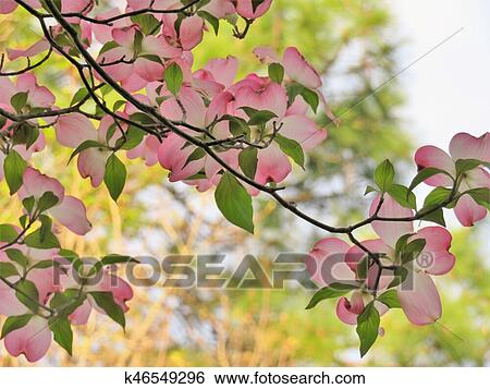 Stock images of pink dogwood tree blooming with pink flowers pink dogwood tree blooming with pink flowers mightylinksfo