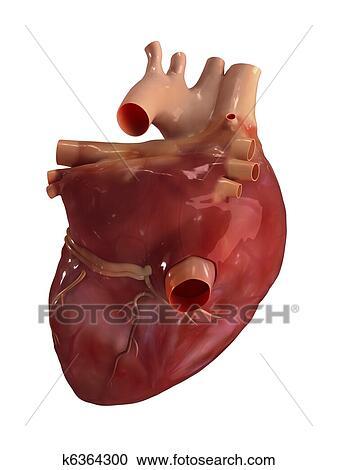 Banco de Fotografías - corazón humano, anatomía k6364300 - Buscar ...