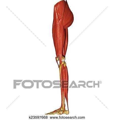 Fotos - esqueleto, y, músculos, de, piernas k23597668 - Buscar fotos ...