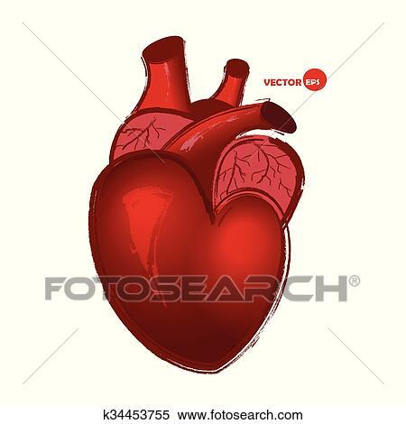 Clipart Anatómico Corazón Humano Blanco Plano De Fondo Dibujo