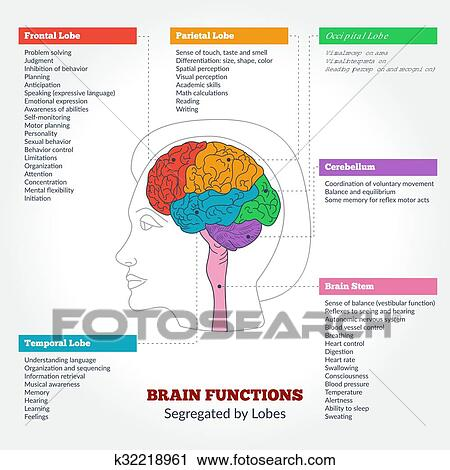 Human Brain Anatomy And Functions Clipart