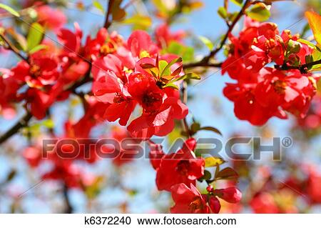 Quince Blossoms Pictures