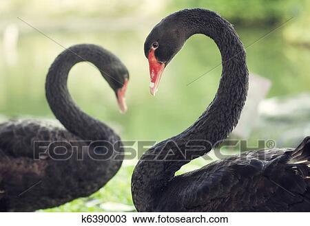Le cygne noir lesbienne