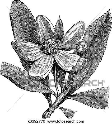 Franklinia or Gordonia pubescens vintage engraving Clipart ...