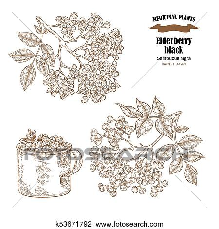 Clipart of elderberry black common names sambucus nigra hand drawn elderberry black common names sambucus nigra hand drawn elder branch with flowers and leaves vector illustration isolated on white background mightylinksfo