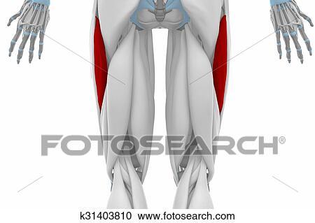 Stock Illustrations of Vastus lateralis - Anatomy map muscles ...