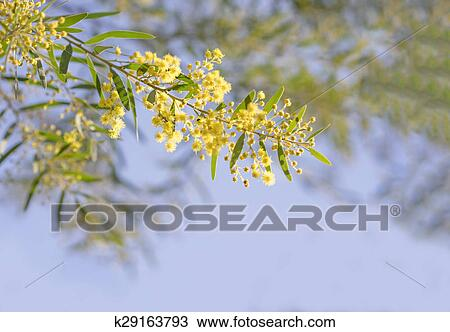 Stock photo of australian yellow spring flowers acacia fimbriata australia winter and spring yellow wildflowers acacia fimbriata commonly known as the fringed wattle or brisbane golden wattle mightylinksfo