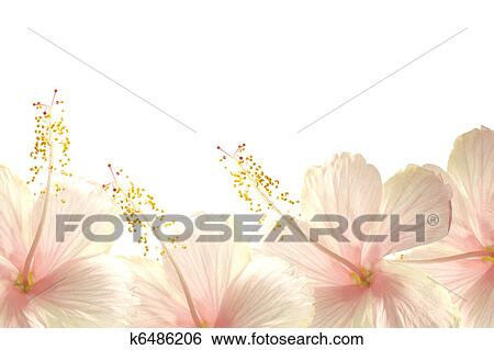Sunlight Pink Hibiscus Flower Border Background Stock Illustration