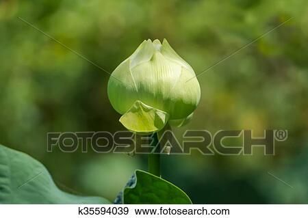 Stock Photograph Of Green Lotus Flower Magnolia Lotus Album