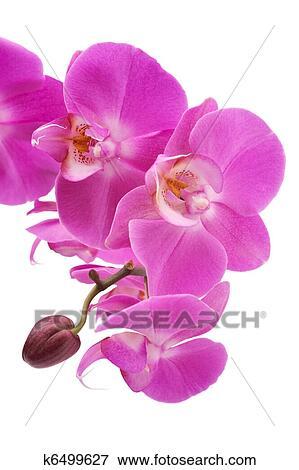 Orchidee Rose Phalaenopsis Fleurs Isole Fond Blanc Image K6499627