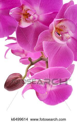 Archivio Fotografico Orchidea Colore Rosa Phalaenopsis Fiori