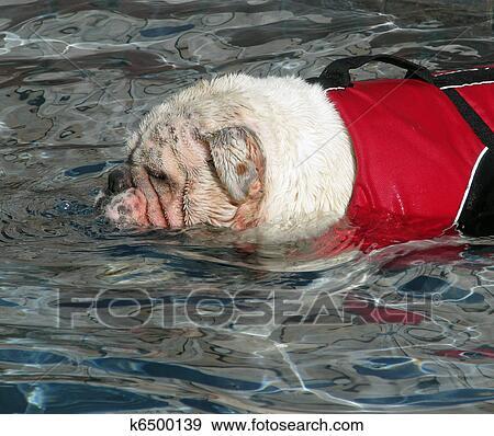 stock photograph of english bulldog wearing a lifevest swimming