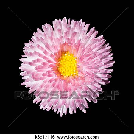 Stock images of beautiful pink flower with yellow center isolated on stock image beautiful pink flower with yellow center isolated on black background fotosearch mightylinksfo