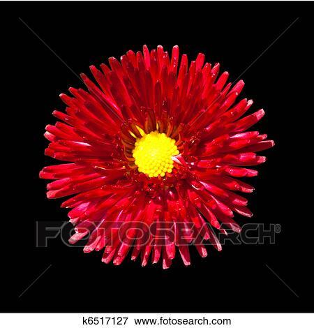 Fiore Rosso Con Giallo Centro Isolato Su Sfondo Nero Archivio