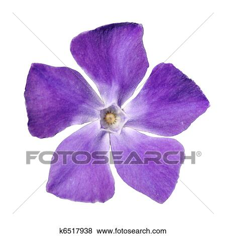 Pictures of periwinkle purple flower vinca minor isolated on top view of periwinkle purple flower vinca minor isolated on white background mightylinksfo