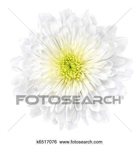 Stock images of white chrysanthemum flower with yellow center single white chrysanthemum flower with yellow center isolated over white background beautiful dahlia flowerhead macro mightylinksfo
