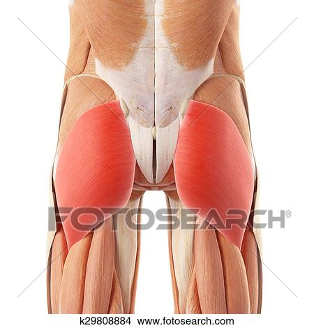 Drawings of The gluteus maximus k29808884 - Search Clip Art ...