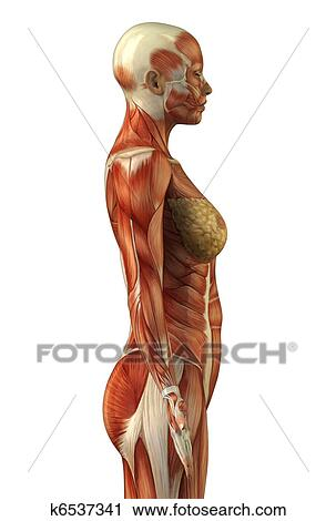 Stock Photography Of Anatomy Of Female Muscular System K6537341