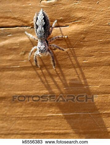 Stock Foto Grau Und Schwarz Springende Spinne Auf Malen Holz