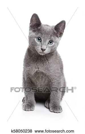 Fluffy Gray Kitten Of A Russian Blue Cat Isolated On White Stock Photo K58050238 Fotosearch