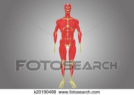 Stock Illustration - skelett, mit, muskel, koerper k20190498 - Suche ...