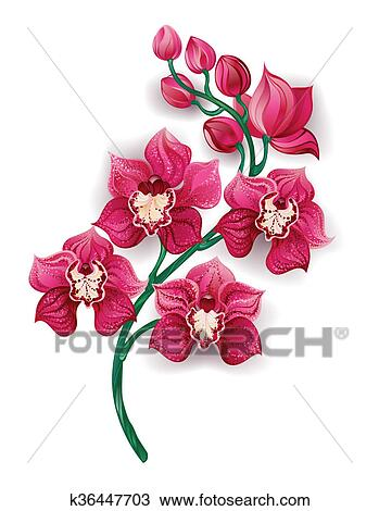 Bright Pink Orchid Drawing K36447703 Fotosearch