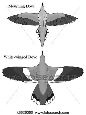 Stock Ilration Mourning And White Winged Doves 2 Fotosearch Search Clipart