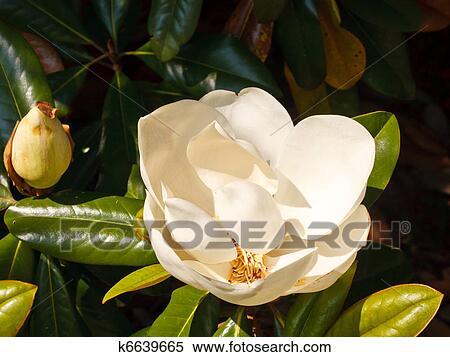 Archivio immagini bianco magnolia fiore su albero for Magnolia pianta prezzi