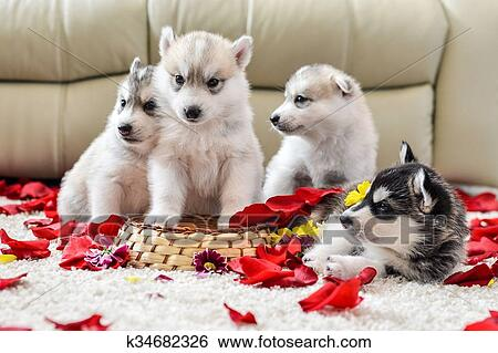 Stock Images Of Siberian Husky Puppy With Blue Eyes K34682326